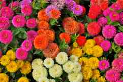 Zinnias -- The Sultan Qaboos Grand Mosque