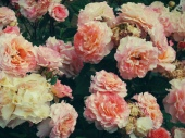 Roses13