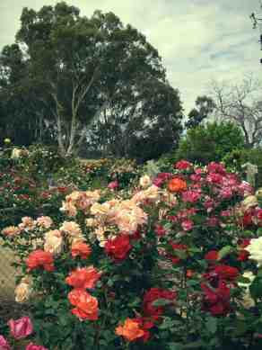Roses9