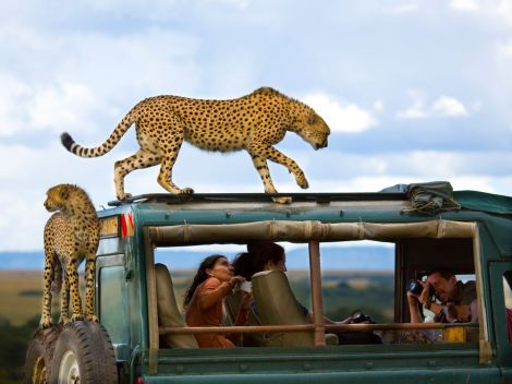 Cheetahs, who jumped on a safari vehicle to get a better view of the gazelle they were hunting in Kenya's Masai Mara reserve. The way one casually looks in the distance, the other tiptoes on the roofs, and the humans can't believe what they are seeing. This image is excellent. The picture won third prize in National Geographic's 2013 Traveller Photo Contest. (By Yanai Bonneh)