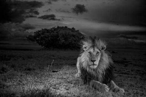 "C-boy the lion, in the series, ""The Short Happy Life of the Serengeti Lion"". As Kathy Moran, Senior Editor, Natural History for National Geographic put so well, ""By photographing C-boy in infrared black and white, without intrusive flash, Nick made the most naturalistic images ever of nocturnal lions. His photographs revealed lions as we rarely get to see them—in the dark, attuned to everything happening around them, in their element. When you look at C-boy, you know that you are playing in his world"". (By Nick Nichols/National Geographic)"