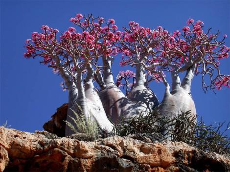 Yemen: Socotra, desert rose plant