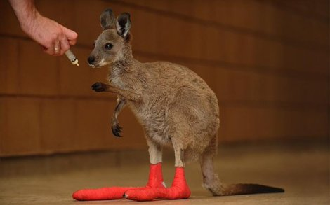 Wallaby joey injured during a wildfire are treated at Adelaide Zoo (Tom Huntley/Newspix/REX)