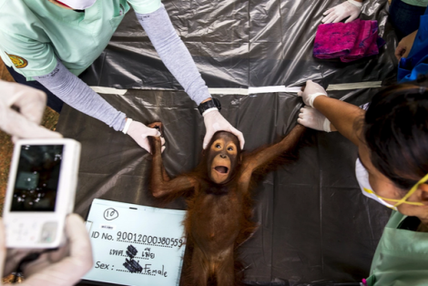 Thai vets conduct health check on orangutan at Kao Pratubchang conservation centre in Ratchaburi (Reuters)
