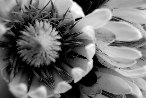 White protea inside